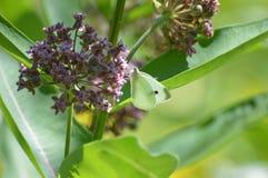 Mal på milkweed royaltyfri bild