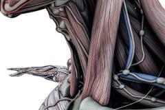 Mala anatomy body Royalty Free Stock Images