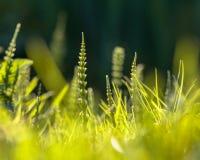 Mala hierba de la cola de caballo de campo Imagenes de archivo