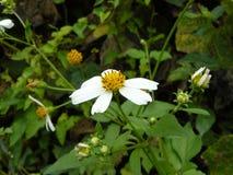 Mala hierba de la pequeña flor blanca Imagen de archivo