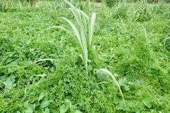 Mala hierba de la vid foto de archivo