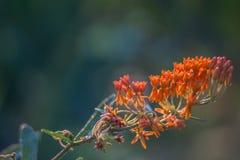 Mala hierba de mariposa 2 imágenes de archivo libres de regalías