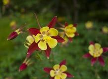 Mala hierba de mariposa mexicana Imagen de archivo libre de regalías