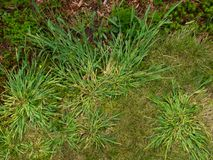 Mala hierba del garranchuelo foto de archivo libre de regalías