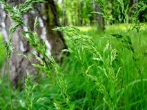 Mala hierba del verano que crece en el bosque Fotos de archivo