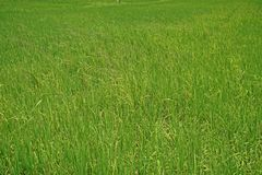 Mala hierba importante de la hierba en campo de la producción del arroz Fotografía de archivo libre de regalías