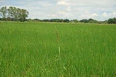 Mala hierba importante de la hierba en campo de la producción del arroz Fotos de archivo