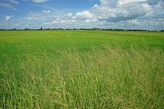 Mala hierba importante de la hierba en campo de la producción del arroz Foto de archivo libre de regalías