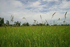Mala hierba importante de la hierba en campo de la producción del arroz Fotografía de archivo