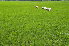Mala hierba que despluma de campo de arroz Imagenes de archivo