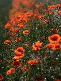 Mala hierba roja imagenes de archivo