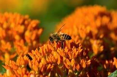 Mala hierba y Honey Bee de mariposa Imagen de archivo