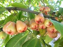Malabaräpfel stockbild