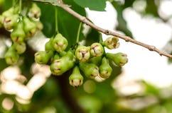 Malabaräpfel oder grünes chomphu auf Baum im Obstgarten Lizenzfreie Stockfotografie
