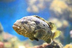 malabar的石斑鱼 库存照片