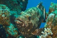 malabar的石斑鱼 库存图片