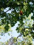 Malabar chestnut tree. A Malabar chestnut tree in Miami, Florida stock photo