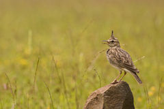 MALABAR CRESTED LARK. Beautiful Crested Lark (Galerida cristata) on a green background Royalty Free Stock Images