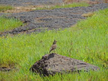 Malabar crested lark Stock Image