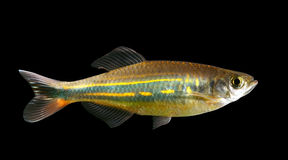 Malabar danio Royalty Free Stock Photography