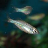 Malabar danio akwarium ryba (Danio malabaricus) Fotografia Stock