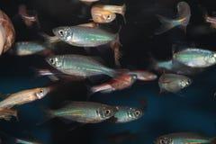 Malabar danio akwarium ryba (Danio malabaricus) Obraz Stock