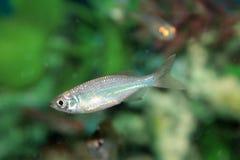 Malabar danio (Danio malabaricus) aquarium fish Royalty Free Stock Image