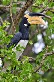Malabar den pied hornbillAnthracoceros coronatusen Royaltyfria Bilder