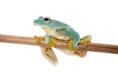 Malabar drzewa latający frogling odizolowywam na bielu obraz royalty free