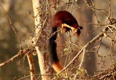 Malabar Gaint Squirell, Ratufa indica, Nagarhole National park, Karnataka, India. Malabar Gaint Squirell, Ratufa indica, Nagarhole National park, Karnataka state royalty free stock images