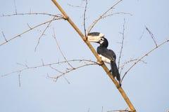 Malabar gescheckter Hornbill Lizenzfreies Stockfoto