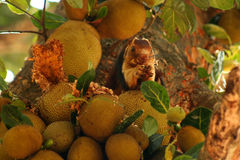 Malabar Giant Squirrel Royalty Free Stock Photo