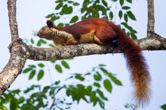 Malabar giant squirrel sitting on a branch. Malabar giant squirrels are huge squirrels found on the top emergent trees in western ghtas of india. They feed on Royalty Free Stock Photos