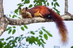 Malabar giganta wiewiórka zdjęcie stock
