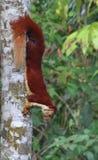 Malabar gigantyczna wiewiórka (Ratufa indica) Obrazy Royalty Free