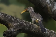 Malabar Grey Hornbill perched on a tree branch stock photos