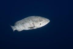 Malabar grouper Stock Photos