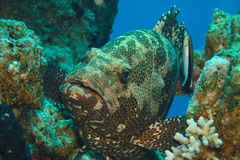 Malabar Grouper. Potato grouper during cleaning by small wrasse fish , Sinai, Egypt Stock Image