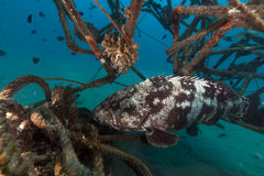 Malabar grouper in a artificial reef. Royalty Free Stock Photography