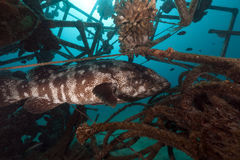 Malabar grouper in a artificial reef. Royalty Free Stock Image