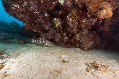 Malabar grouper and coral in the Red Sea. Stock Images