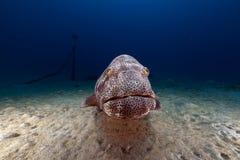 Malabar grouper (ephinephelus malabaricus) in the Red Sea. Royalty Free Stock Photo
