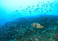 Malabar grouper royalty free stock image