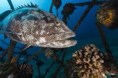 A Malabar grouper (epinephelus malabaricus) Royalty Free Stock Photos