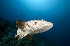 Malabar grouper and ocean Royalty Free Stock Images