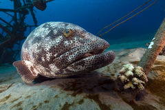 Malabar grouper in the Red Sea. Stock Photos