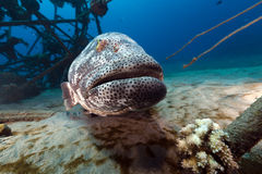 Malabar grouper in the Red Sea. Stock Photo