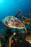 Malabar grouper in the Red Sea. Stock Image