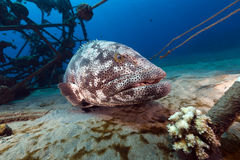 Malabar grouper in the Red Sea. Royalty Free Stock Photography