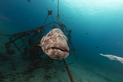 Malabar grouper in the tropical waters of the Red Sea. Stock Images